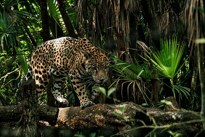 Jaguar ~ Belize