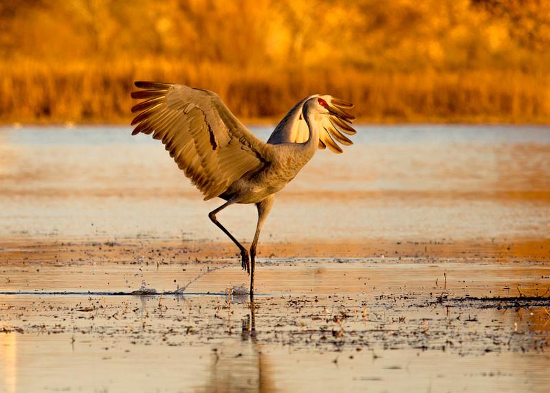 Dancing Sandhill Crane