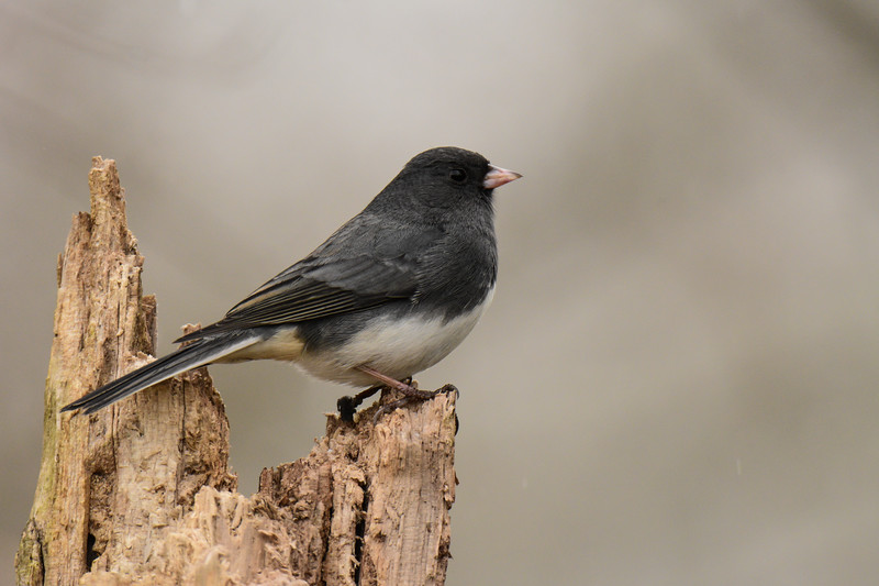 """Dark-Eyed Junco"""
