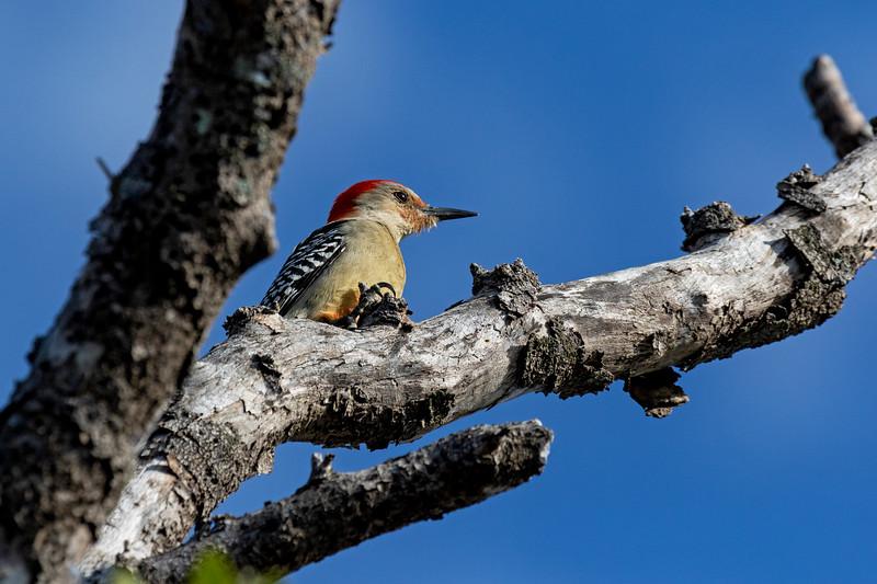 Red-bellied Woodpecker Scouting