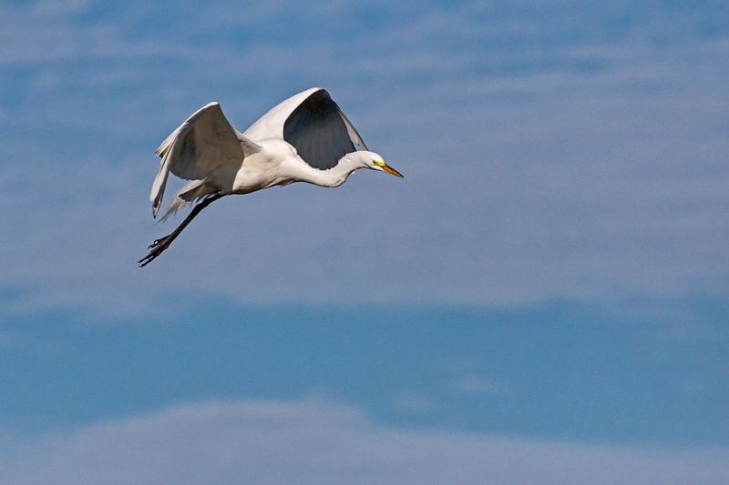 Great Egret Flight 1