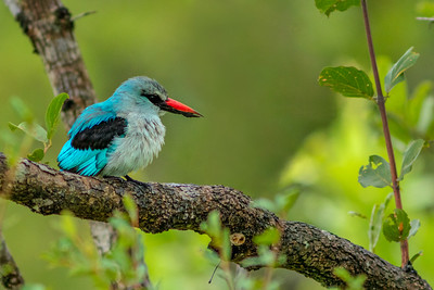 Woodland Kingfisher 2