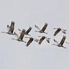 """Cranes In Flight"""