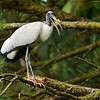 """Wood Stork In The Pines"""