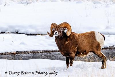 Bighorn sheep III
