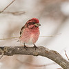 """Purple Finch"""