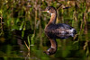 Pied-billed Grebe 2