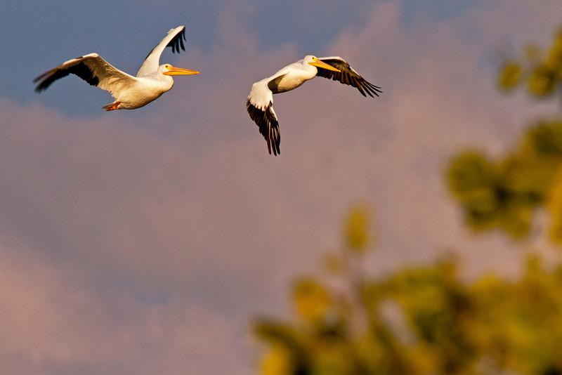 Pelicans in Flight 1