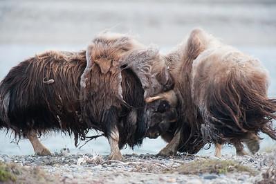 Musk Oxen sparring on Alaska's Arctic Coast. ANWR