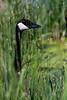Goose-neck