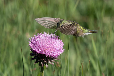 Broad-Tailed Hummingbird 09