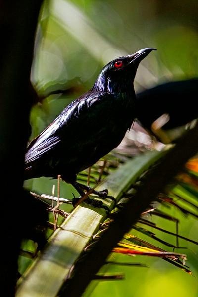 Red Eyed Black Bird