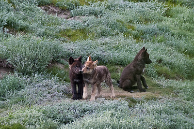 Wild wolf pups exploring without a parent. Yukon Territory, Canada.