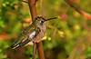 Hummingbird 5-1 (cc)