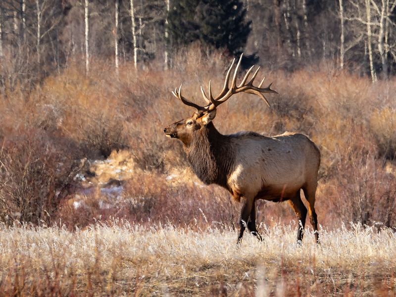 Bull Elk