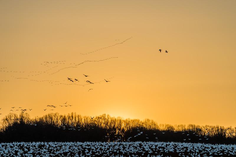Strings of Snow Geese