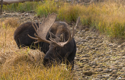 Bull Moose evening dining