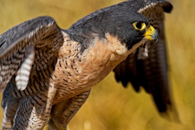 Falcon Flight