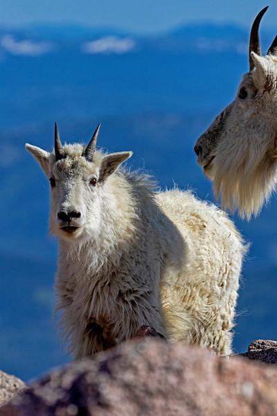 Mt Evans Mountain Goats