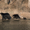 A sow black bear and her cubs along the lake at Montour Preserve near Washingtonville, Pennsylvania.