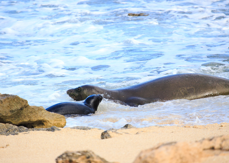 Hawaiian Monk Seal & Pup