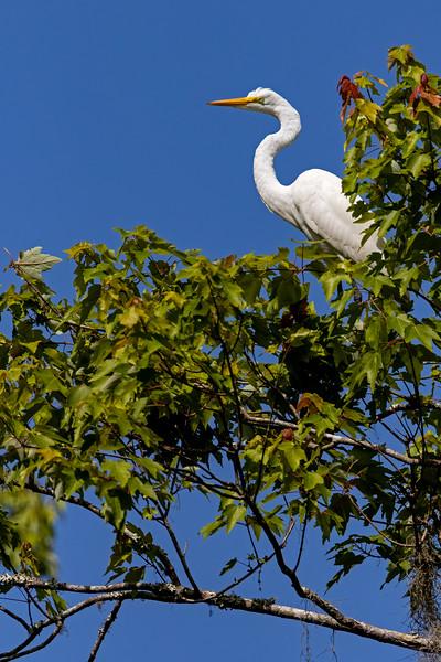 Tree Egret