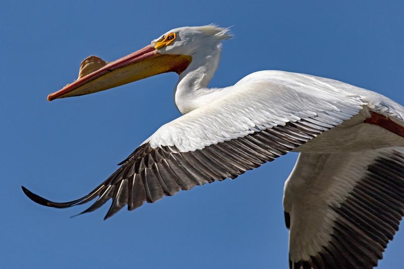 Pelican In-Flight 1