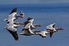 Pelican Squadron 1