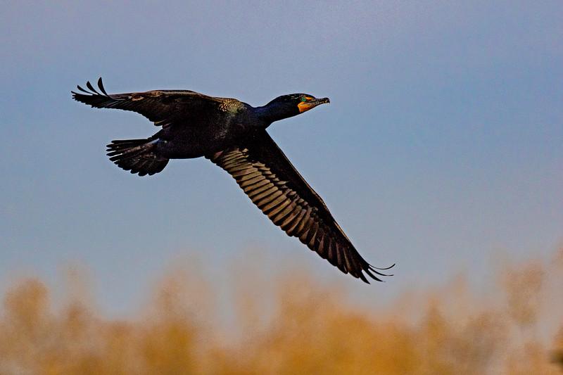 Cormorant In Flight 1