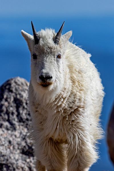 Mt Evans Mountain Goat 3