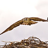 Osprey, Jackson Hole