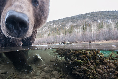 Grizzly Sow scouring the river for spawned out chum salmon.
