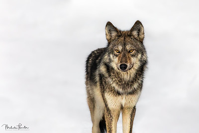 Eastern Gray Timber Wolf