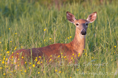 Deer in the Sunset and Buttercups