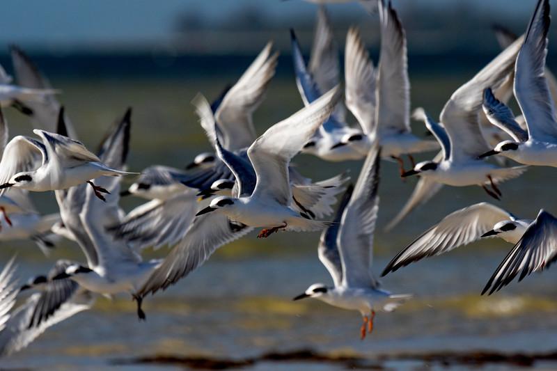 Terns in Flight 2