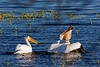 Pelicans & Carp