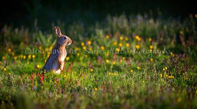 Rabbit0036