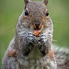 Gray Squirrel, Montour County, Pennsyvlania