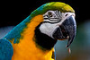 Blue and Yellow Macaw 1