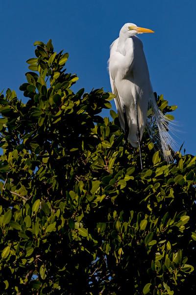Great Egret Mangrove