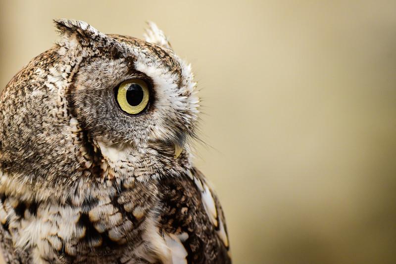 """Gray Screech Owl"""