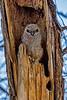 Great Horned Owl Fledgling