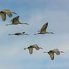 """""""Sandhill Cranes"""""""