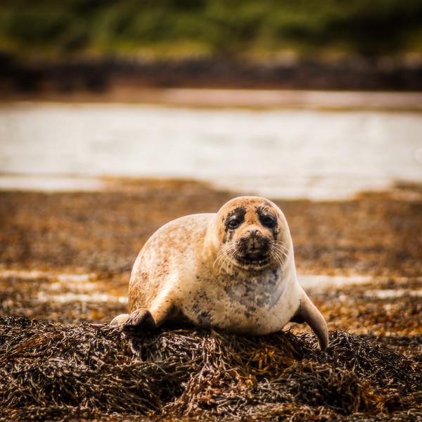 Seal, Loch Dunvegan