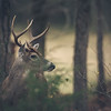"""Buck In The Forest"""