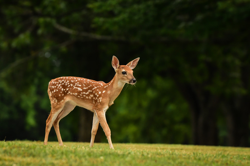 """Spring Fawn"""