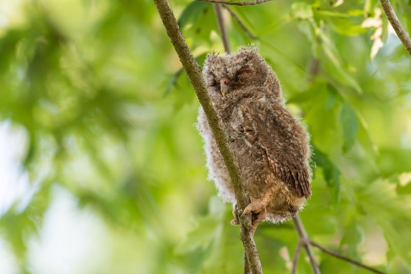 """Baby Screech Owl"""