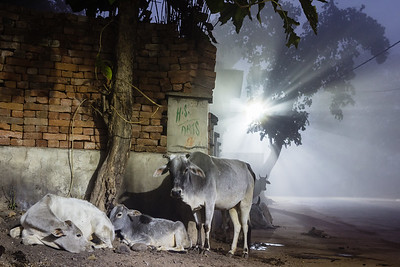Cows in the light