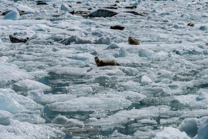 Harbor Seals on Alert