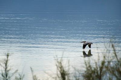 Pelican at Utah Lake